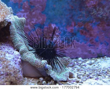 Echinusn, urchin, sea-urchin or sea hedgehog. Reef tank, marine aquarium. Fragment of blue aquarium full of plants. A tank filled with water for keeping live underwater animals. Day view.
