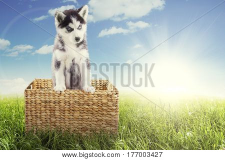 Photo of a Siberian husky puppy looking at the camera while standing in a wicker basket with a sunlight on the sky