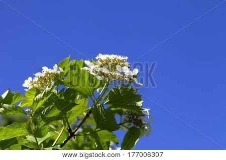Flowering Spring Twigs Of Viburnum With Young Leaves And Flower