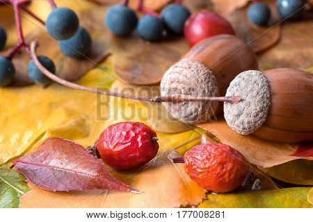 Brown Acorn red Briar Berry Bilberry and other seasonal Garden Stuff on Autumnal Leaves Close Up side View