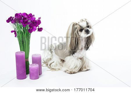 Small and beautiful Shih Tzu breed dog on white background bouquet of flowers candles gift animal care grooming.