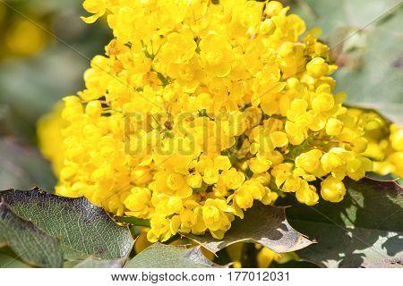 Mahonia Holm (lat. Mahonia aquifolium) is an evergreen shrub of the Barberry family (Berberidaceae). The spring bloom