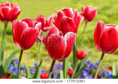 Beautiful Carmine with white border tulips (lat. Tulipa) on the bed of blue violets in spring garden