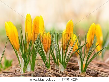 beautiful spring flowers yellow crocuses. selective focus macro photo