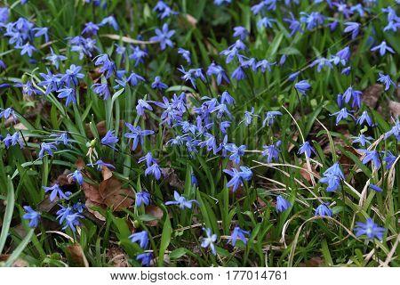 Scilla / Scilla - Early spring flowers .