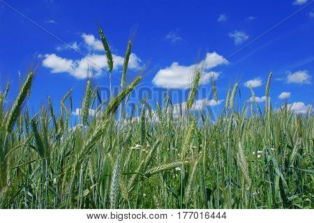 View of ears and field of green wheat against the background of a cloudy sky close-up