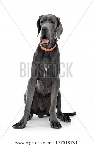 Studio Shot Of An Adorable Great Dane