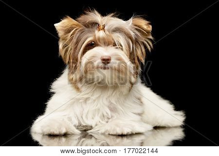 Studio Shot Of A Cute Biewer Yorkshire Terrier Puppy