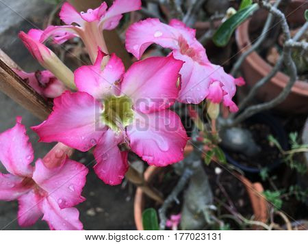 Desert Rose Tropical flower (Also called Impala Lily, Mock Azalea, Pink adenium) on a tree or Impala Lily beautiful Pink adenium in the garden