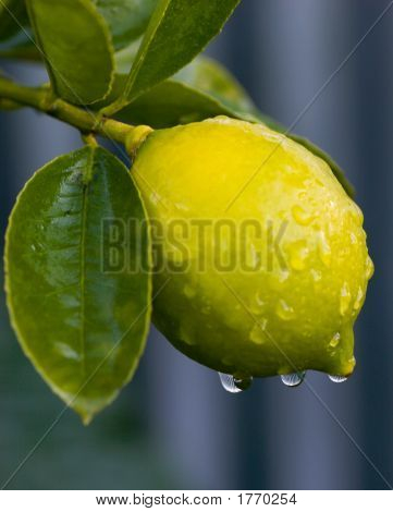 Dew On Lemon 01