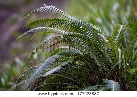 Hard-fern (Blechnum spicant). Fern in the family Blechnaceae growing in moist woodland at Oyster's Coppice nature reserve in Wiltshire UK