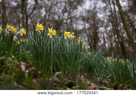 Patch of wild daffodils (Narcissus pseudonarcissus pseudonarcissus). Native daffodil aka lent lily in flower in Oyster's Coppice woodland in Wiltshire UK