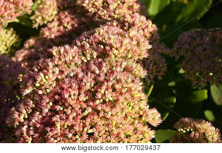 Sedum (Stonecrop) in blossom. Sedum prominent (Sedum spectabile). Make your garden bee-friendly in autumn