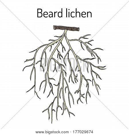 Beard lichen Usnea barbata or tree moss. Hand drawn botanical vector illustration
