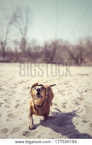 Funny Dog Is Running Along Beach Like A Powerful Predator