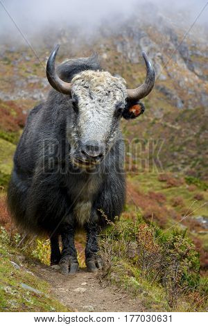 Big yak standing on the trail in himalayan mountains