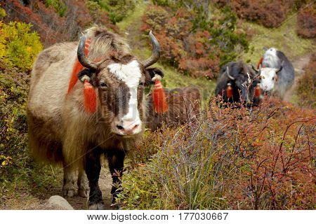 Several yaks passing to the pasture in the himalayan mountains