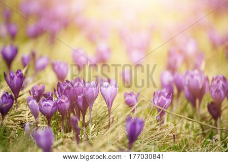 Beautiful violet crocuses flower growing on the dry grass, the first sign of spring. Seasonal easter sunny natural background.