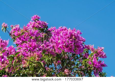 A background with a branch of blooming bougainvillea flowers and a sky Andalusia Spain.