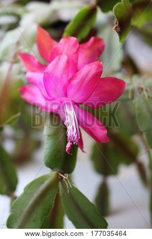 Flowering Decembrist, this house plant epiphytic cactus
