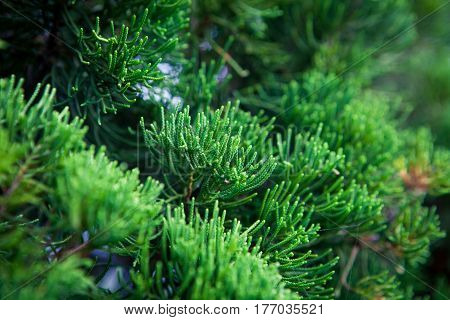 Branch decorative needle cypress dark background close-up coniferous tropical wood