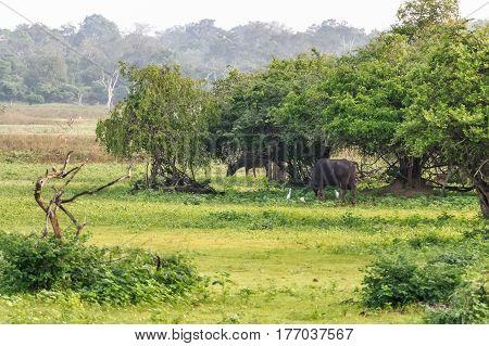 Asian Water Buffalo in Yala West National Park in Sri Lanka