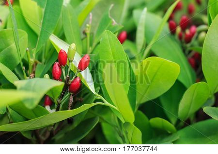 Leaves of coca plant or Erythroxylum novogranatense