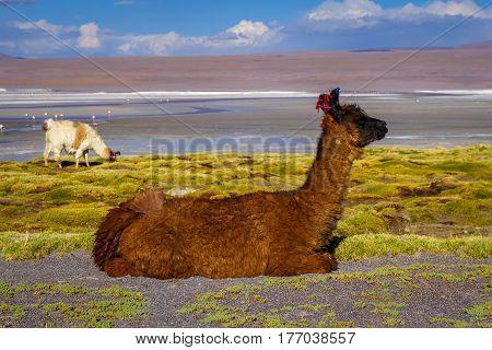 Lamas Herd In Laguna Colorada, Sud Lipez Altiplano Reserva, Bolivia