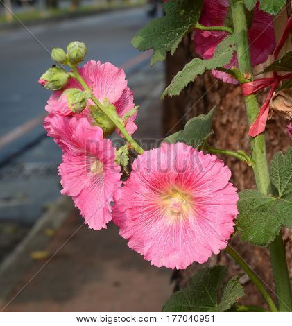 Close-up of blossoming Bristly Hollyhock at the city park
