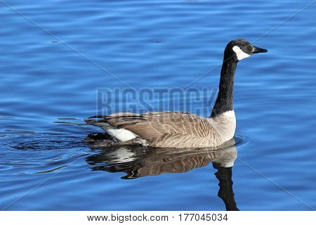 A Canada Goose (Branta canadensis) swimming on a pond in winter.