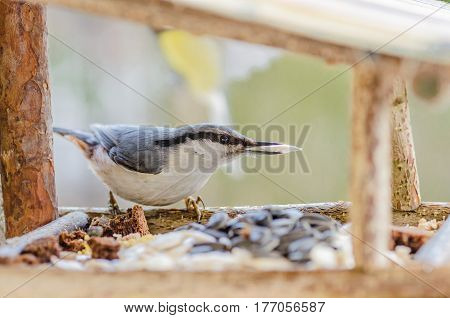 gray-white bird nuthatch with a large head, a short neck with a stocky body and a small tail