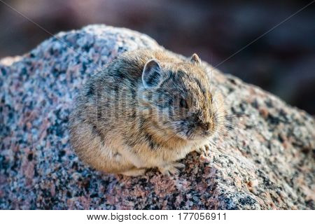 Pika are cold weather mammals in the Rabbit family and are not rodents. Commonly found at high altitude in the Colorado Rocky Mountains.