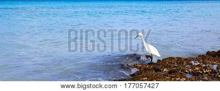 Bird with the dark blue sea. Heron with dark blue sky in caribbean.