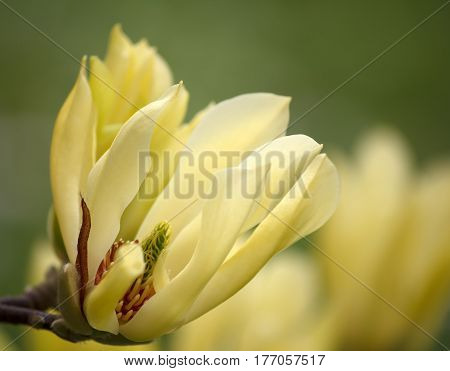 Closeup of a yellow Magnolia blossom in full bloom - greenery bokeh background