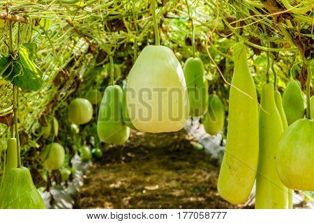 Calabash gourd fruit and trees in the garden
