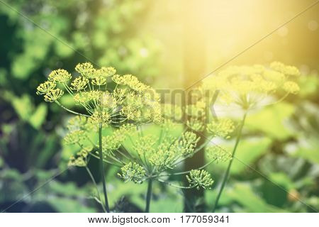 Summer blooming natural sunset background with flowers Dil and sunlight, toned