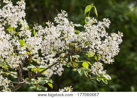 branch of white lilac in the spring garden