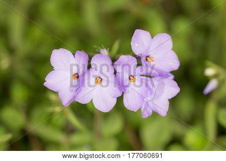 violet phlox in a spring garden closeup