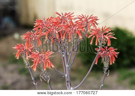 aloe red flower in spring close up