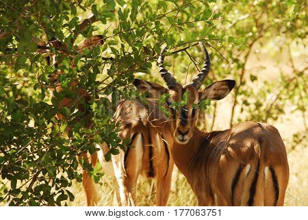 In a bright sunny day, the antelope hides in the green thickets of the bush. Light and shadow.  South Africa