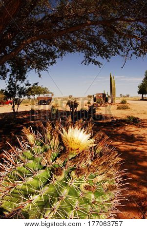 Flowering cactus, a hot, sunny day, cars on the horizon, a hot earth saving the shadow. Light, shadow, South Africa