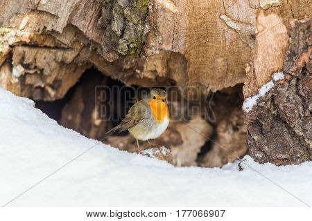Robin at his nest under the tree stump