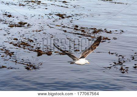 A one Albatros flying on beagle channle