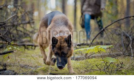 Pet in the autumn forest - German shepherd dog, telephoto