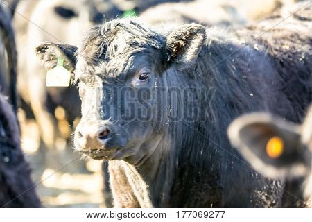 Bulls Black Angus In A Pen Large.