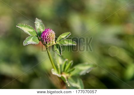 Flowering clover, trifolium pratense flower on the field.