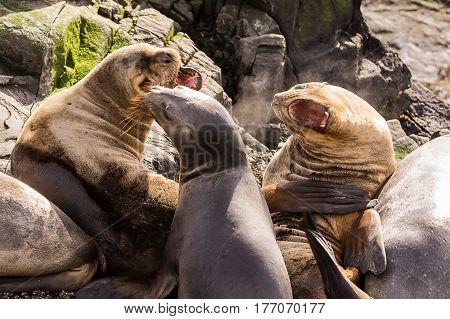 Sea lions roaring in beagle channel near Ushuaia (Argentina)