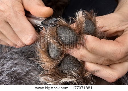 hands trimming claws of dog with pet clipper