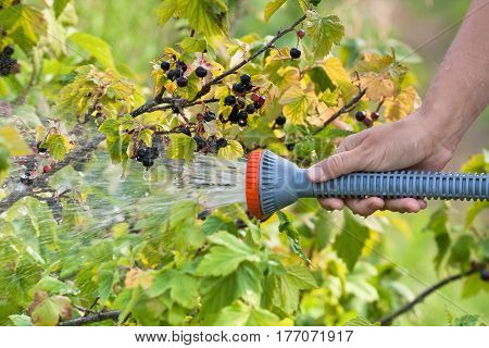 hand of gardener watering black currant in the garden