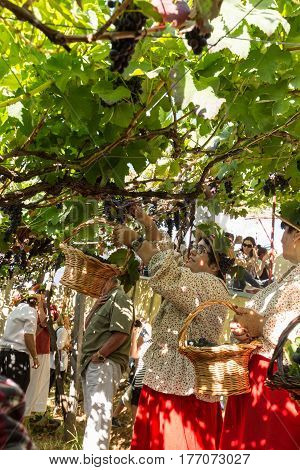 ESTREITO DE CAMARA DE LOBOS PORTUGAL - SEPTEMBER 10 2016: People harvesting grapes in the vineyard of the Madeira Wine Company at Madeira Wine Festival in Estreito de Camara de Lobos Madeira Portugal